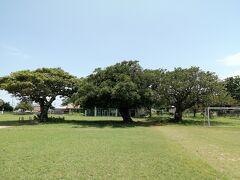 校庭には3本の木が植わっています。 オオバアコウ、カジュマル、デイゴ。樹齢はどれも120年以上だそうです。沖縄の名木百選にもなっています。許可をいただき、間近で眺められました。 まるで兄弟のように仲良く並んでいる微笑ましい木です。