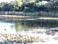 「さぎ山記念公園」の奥から先に行くと、「水路(見沼代用水東縁)」があって、それを渡ると、「見沼自然公園」の敷地に入っていけます。徒歩2分です。  「見沼自然公園」は、『見沼田んぼ』の自然を保存して残してあります。 大きな池には大きく育った鯉が泳いでいます。水鳥が、餌をくれるかもしれないという期待を持ちながら、程良い距離を保ちながら人に近づいてきます。 睡蓮の花も咲いています。