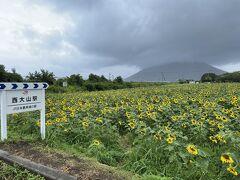 目的地である西大山駅に到着。駅近くのひまわり畑は、昨日から今日にかけての雨と風でなぎ倒されていた。