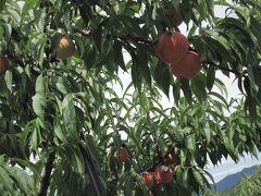 中山晋平さんで有名な中野市内へ入りフルーツランドで桃狩りを体験。 「左手で桃の根元を押え右手でそっとひねって下さい」 大きく実った桃の実をこわごわ2つもぎ取りました。