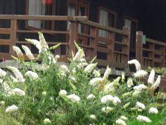 これは?もっとわかりませんがオカトラノオの親分のようです(笑)  清泉寮やギフトショップは木造のムードある建物ですねーー。