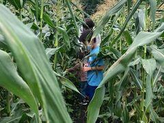 トウモロコシ畑に入るとこんななんですね・・ 朝もぎのトウモロコシは本当に美味しいです。