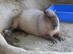 足羽山動物園到着 まずはハピジャンから カピバラさんは、まったり