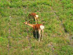 知床峠で見かけたエゾ鹿の親子
