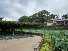 小田原城の敷地に入ってきました。 藤と蓮の葉が青々としています。