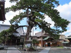 この大慶寺には、もの凄く立派なマツがあります。 1枚で全体を収められない大きさです。