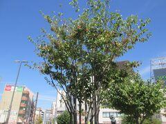 10:56 駅前の街路樹(りんご?)