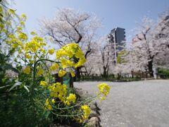 隅田公園(台東区側)まで来ましたが、まだこの辺りも観光客は多くありません。菜の花と桜のコラボも見られる穴場スポットです。