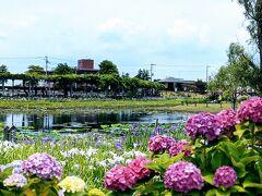 晴れ間も見え始めた頃、水郷佐原あやめパークへ移動です。見頃とあってたくさん人がいました。  菖蒲と同じぐらい紫陽花が綺麗~。