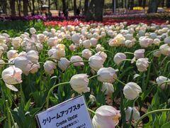 ネモフィラの前に待ち受けていた花の絶景。  チューリップエリア!! 想像以上の綺麗さ。  悪天候だったからか曲がったり折れたりしているのもたくさんでしたが、頑張って咲き誇っていました。