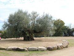 樹齢千年のオリーヴ大樹 2011年スペインから移植 元々は8mあったが、運搬のため3mに伐採