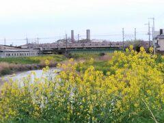 「綾瀬川」 春は菜の花や桜の花が綺麗です。 (2019年4月撮影)