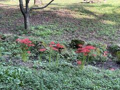 毎朝散歩している忠生公園で前日まで蕾だった彼岸花がほぼ満開に咲いていました。大変、週末に彼岸花観に行かなきゃと思い、計画を立てます。