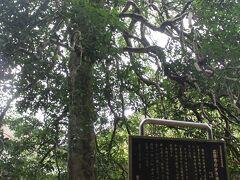 裏手左に回ると有名な「広徳寺のタラヨウ」の木が。東海~近畿地方に主に生えている木だそうだが初めて聞く名前。