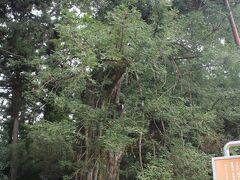 右手には「カヤの木」があってこれも天然記念物。