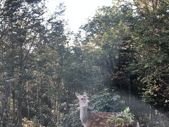 カムイワッカの滝までの道でたくさん鹿にあいました。