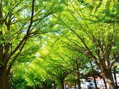 北海道大学 https://www.hokudai.ac.jp/  北大の銀杏並木、黄色に色づいたら綺麗だろうな♪まだちょいと早いですね~でも緑も綺麗だわぁ。