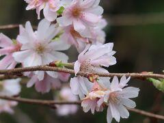 斜面を降りれば *** 冬桜 ***