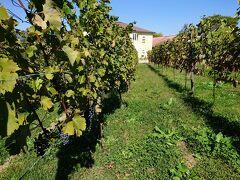 続いてやって来たのは、ソラテラスと長野市の中間にある、飯綱町のサンクゼールワイナリー。 ブドウがなっています。