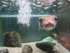 京都大学白浜水族館・・・京大運営のマニアックな白浜周辺海の生き物水族館  派手さはありませんが学術的な解説重視な生態系学習する水族館  紀伊半島の海の生き物約500種を飼育展示  その半数が無脊椎動物で、珍しい色の生き物や変わった動き観察することができます  大きな水族館では見られない、ユニークな展示で、しっかり観察することができるのが強み  どことなくユーモラスな海の生き物の動きや顔につい見入ってしまいます  今までの水族館のイメージはキレイで幻想的  それが今回、水族館は水の生き物の生態を学ぶ場所でもあることに気づきました  歴史も古く、大学付属の臨界実験所の付属施設で、海の生き物のマニアックな表情に癒されました