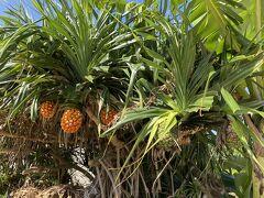 蒼い珊瑚礁に来ました。昨日もランチで来たわけですが、裏手にあんなビーチがあるとはつゆ知らず… 入り口にパイナップル。10月でも与論はまだまだ夏の景色ですね。