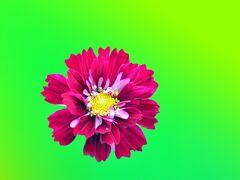 フラワーパーク江南 ピコティ.ダブルクリックのコスモスが まだチラホラ咲いているだけ。