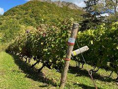 クーポンが残ったので八剣山ワイナリーへ寄ってみます。まだ収穫の真っ最中。  画像の後ろに見える山が八剣山です。