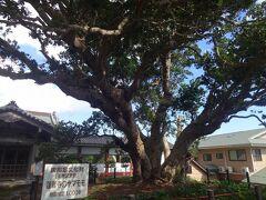 まず向かったのは蓮着寺です。  最初に目に付くのはこの大木ですが、国の天然記念物に指定されいます。  日本最大のヤマモモで、樹高15m、幹囲7.2m、枝は東西22m南北18mに広がり、日本最大とされていますが、樹齢も1000年程度と超長寿です!