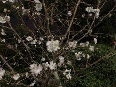 西公園の10月に咲く桜