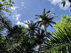 ヤエヤマヤシは、八重山列島の中でも石垣島と西表島にしかない固有種で、非常に珍しいヤシなんだそうです。