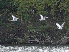 ポロト湖畔まで戻ってきました。白い3羽はダイサギ。