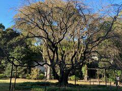 六義園内庭大門をくぐると、しだれ桜の大木が見えてきます。  桜の満開のころにまた来てみたいな~。