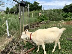 来間島のアオゾラパーラーにいるヤギ