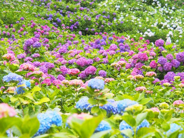 関東のあじさい寺・名所15選。色とりどりのあじさいを見に行こう
