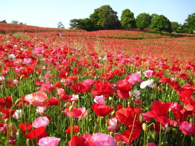 【2020年春】関東近郊の絶景花畑スポット15選!東京から日帰りOK