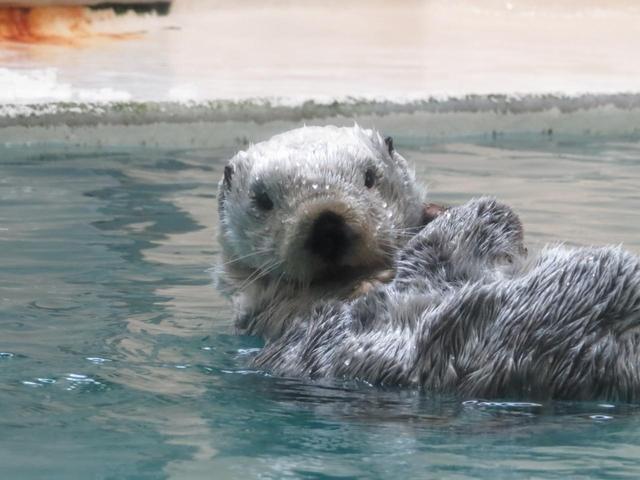 実は絶滅危惧種! かわいいラッコが見られる希少な国内の水族館6選