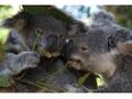 コアラとふれ合える カランビン・ワイルドライフ・サンクチュアリー