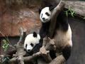 おすすめ!パンダに会える「オーシャンパーク(海洋公園)」ツアー<1日>