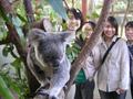 コアラに出会える シドニー タロンガ動物園 入園チケット