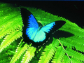 オーストラリアン・バタフライ・サンクチュアリー入園チケット キュランダ村で人気の南半球最大級の蝶園