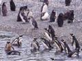 いざペンギン島へ!双胴船カタマランクルーズとハーバートン牧場ツアー<ウシュアイア発>