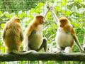 ロッカウイ動物園観光ツアー<半日/コタキナバル発>
